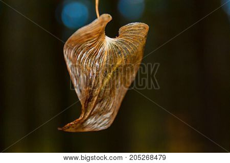 Dry Autumn Leaf On A Dark Background