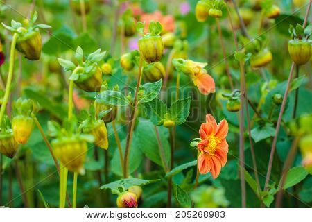 Amazing beautiful bokeh background with bright red or pink or coral dahlia flowers. A colorful floral nature . Garden