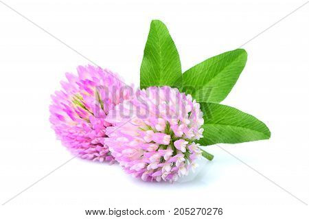 Two clover flowers with leaves close up isolated on white background.