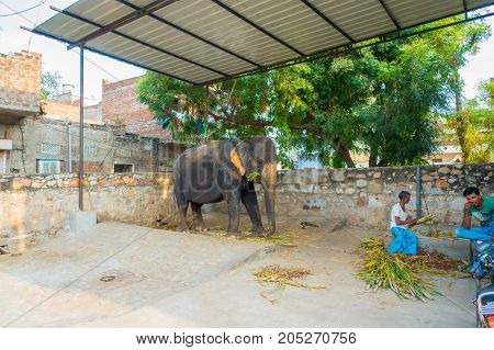 JAIPUR, INDIA- SEPTEMBER 20, 2017: Unidentified man stands with two huge elephants, with chains in their feet in Jaipur, India. Elephants are used for rides and other tourist activities in Jaipur, India.