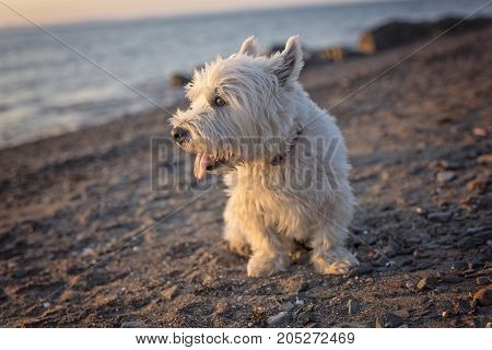 A west highland white terrier a very good looking dog