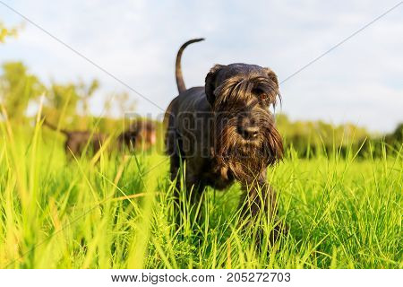Standard Schnauzer Dog Walks On The Meadow