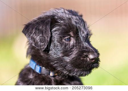 Head Portrait Of A Schnauzer Puppy
