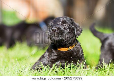 Portrait Of A Schnauzer Puppy
