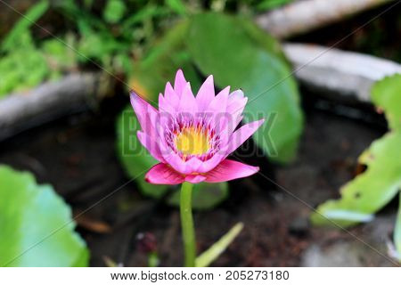 a beautiful pink water lily on the water