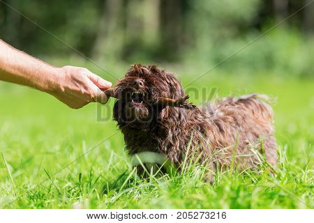 Man's Hand With A Stick Plays With A Havanese Dog