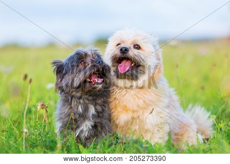 Portrait Of Two Havanese Hybrid Dogs