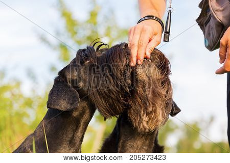Woman Gives Her Schnauzer A Treat