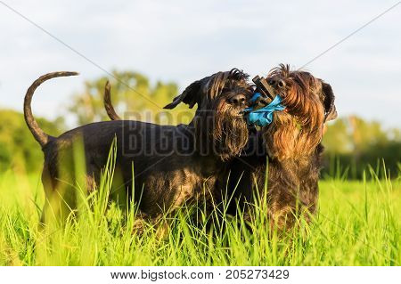 Two Schnauzer Fight For A Treat Bag
