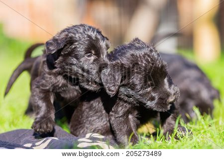Cute Schnauzer Puppies Playing On The Lawn