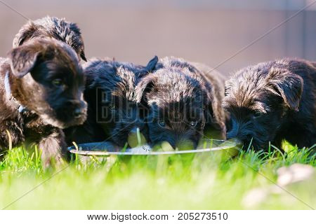 Litter Of Schnauzer Puppies At The Feeding Bowl