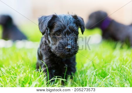 Portrait of a cute schnauzer puppy in the meadow