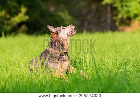 Portrait Of An Australian Cattledog That Looks Up