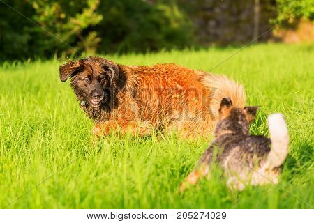 Leonberger And Australian Cattledog Running On The Meadow