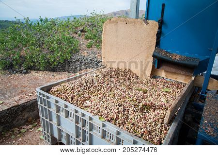 The process of dehulling of pistachios then collecting in a bin