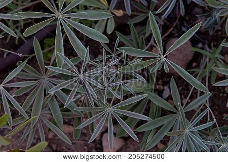Lupine Leaves Fan Out Before flowers grow