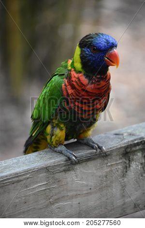 A Colorful Lorikeet Bird in a Zoo