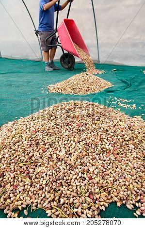 Pistachio Harvest Season