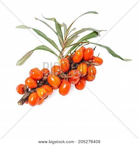 Ripe sea-buckthorn berries on branches with leaves isolated on white background