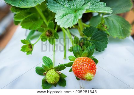 Strawberry Fruits On The Branch.