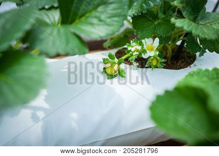 Strawberry Flowers And Buds Planted In Containers