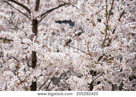 Closed up of beautiful Sakura (Cherry blossom) flower background