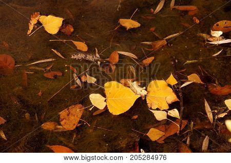 Autumn etude with the fallen-down yellow leaves on a water smooth surface