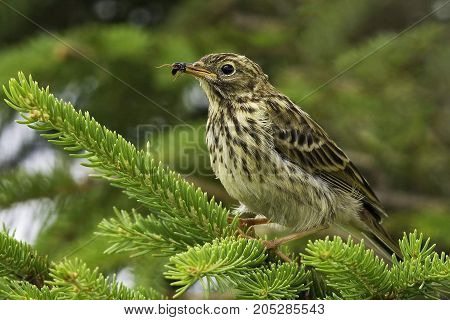 The tree Pipit or forest (lat. Anthus trivialis) is a species of bird from the family of smaller and slimmer than a Sparrow. Body length 16 see the Upperparts are brownish-grey with blackish-brown streaks. Underparts are pale-Buffy. On the breast and flan