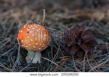 Fly Amanita mushroom in autumn light in the forest in fall.