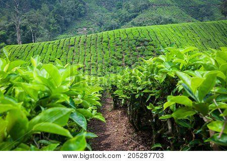 Tea Plantation In Cameron Highlands, Malaysia.