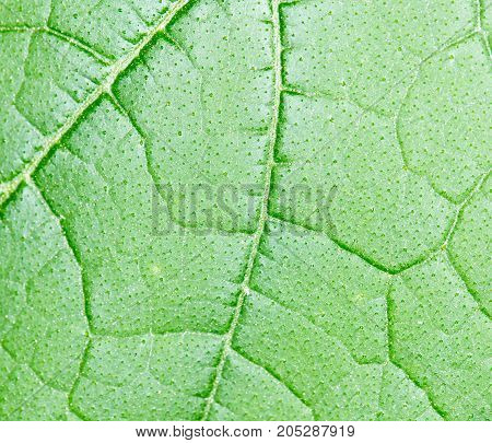 Background of the green sheet. close-up . Photo as an abstract background