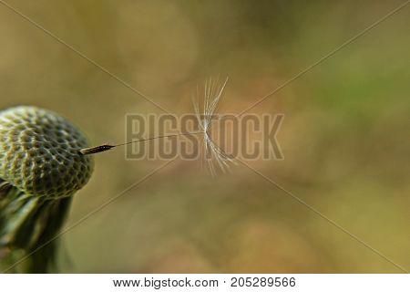 Isolated dandelion seed, closeup and macro photography