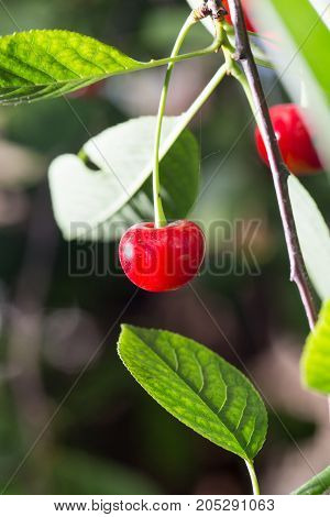 red cherry on nature . In a park in the nature