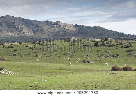 Cows grazing in Dehesa de Navalvillar, Colmenar Viejo, Madrid, Spain. In the background the Cerro de San Pedro (San Pedro Peak).