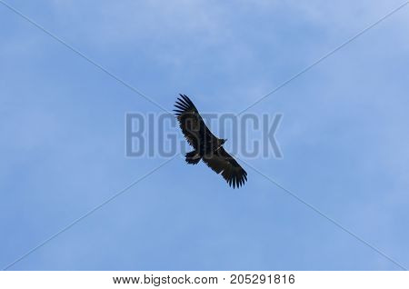 Cinereous Vulture, Aegypius monachus, in flight. It is a large raptorial bird that is distributed through much of Eurasia. Photo taken in Colmenar Viejo Madrid Spain