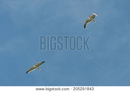 Yellow-legged gulls Larus michahellis in flight. Photo taken in Colmenar Viejo Madrid Spain
