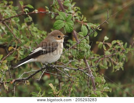 Flycatcher-Flycatcher is common in the forests of Europe and adjacent Islands, in the Central parts of Western Siberia and also in North Africa. Winters in tropical and Northern Africa. Breeds in mixed and deciduous forests, preferring light and sparse gr