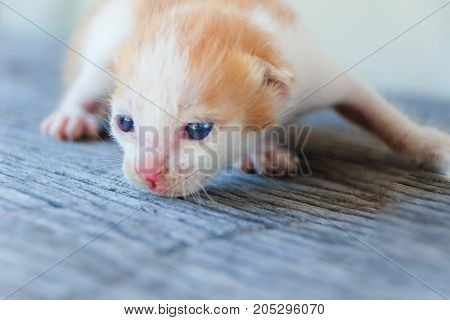 Small Kitten lying on a wooden floor.