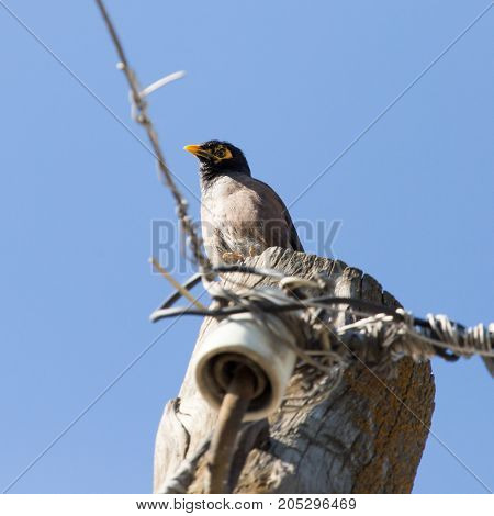 Indian starling on a pole . In a park in the nature