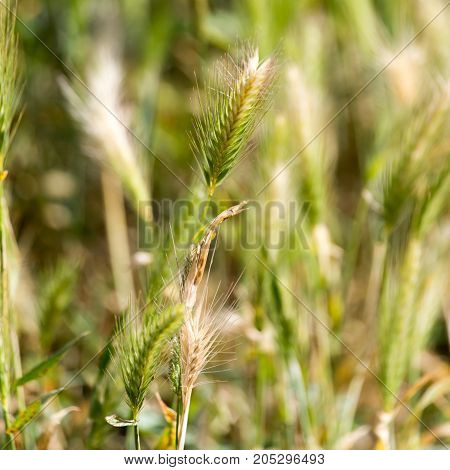 Spike grass in nature . In a park in the nature