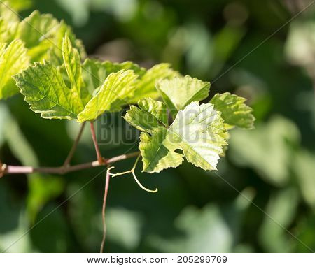 branches with leaves grapes in nature . In a park in the nature