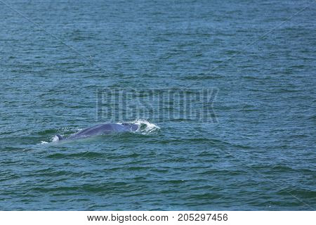 Bryde Whale In Gulf Of Thailand