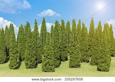 Pine trees and green grass in the garden on blue sky background with white clouds.