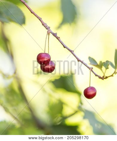 ripe cherries on the tree . In a park in the nature