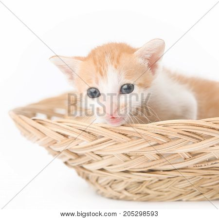 Cute baby kitten posing in basket - studio shoot