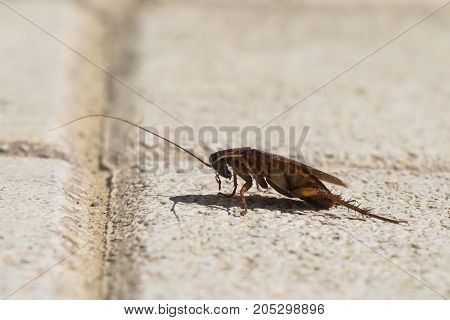 American cockroach sitting on a stone surface (Periplaneta americana) - Left view