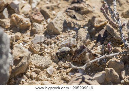 Desert beetle creeps between stones (Pterolasia squalida)