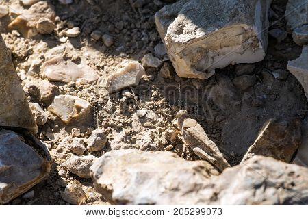Desert locust sit between stones (Sphingonotus octofasciatus)