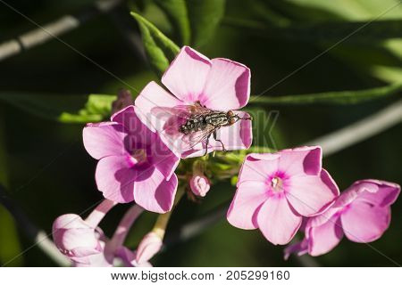 Gray meat fly sits on a pink flower and rubs the paws (Muscidae)