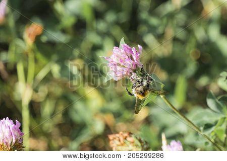Honey Bee collects pollen from a clover flower (Apis mellifera)